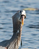 Great Blue Heron eating a Ribbon Snake