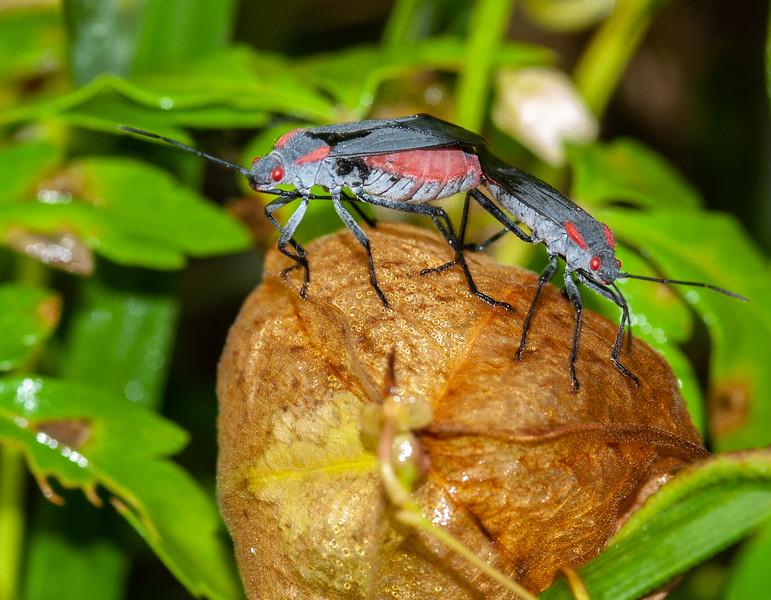 Red-shouldered Bugs