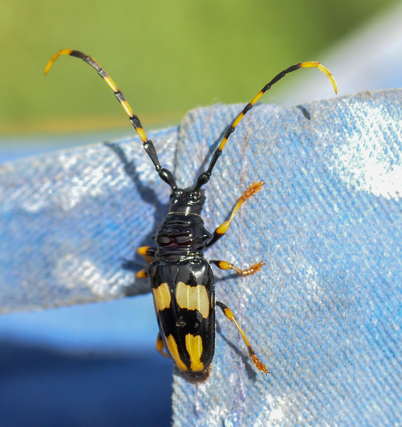 Black and Yellow Longhorn Beetle