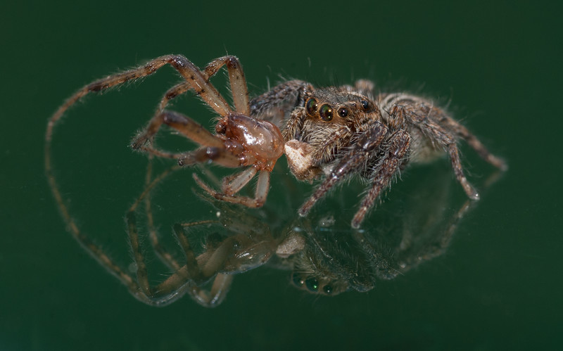 Jumping Spider eating a spider