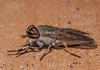 Horse Fly (Female)