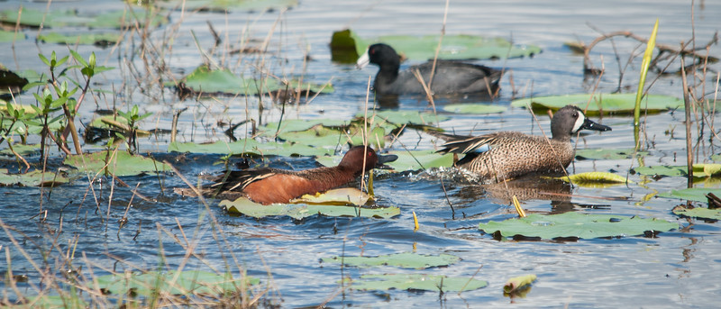 Cinnamon Teals chasing a Blue-winged Teal (both males)