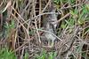 Green Herons (Juveniles)