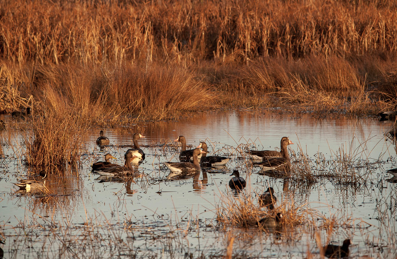 Greater White-fronted Geese and Northern Pintail (Male)