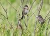 Seaside Sparrows (Immature)