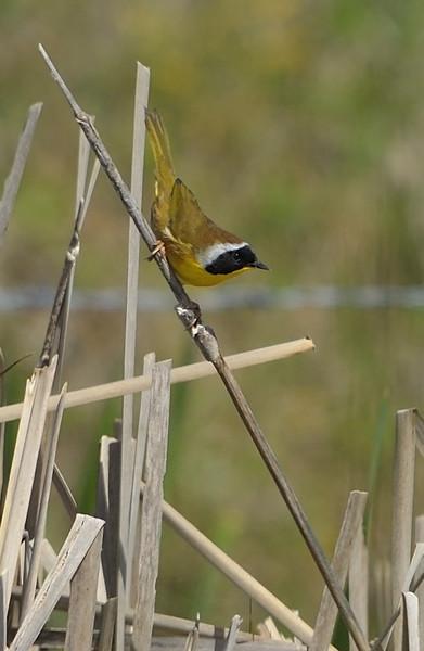 Common Yellowthroat (Male)