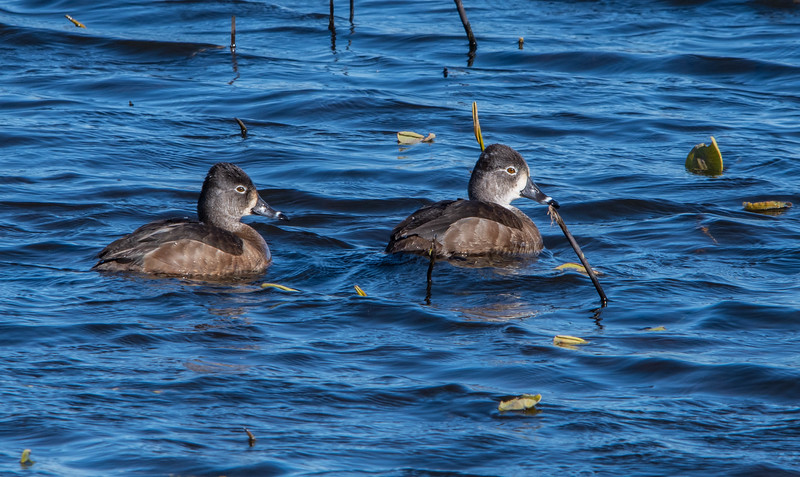Ring-necked Ducks (Female)