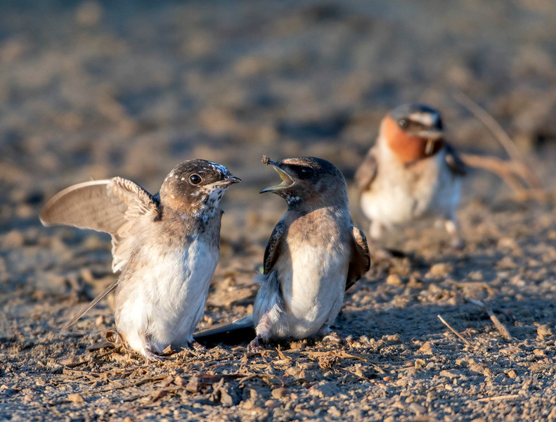 Cliff Swallows (Immature)