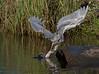 Reddish Egret (Immature)
