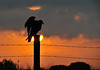 Turkey Vulture at Sunrise