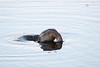 Ruddy Duck Diving