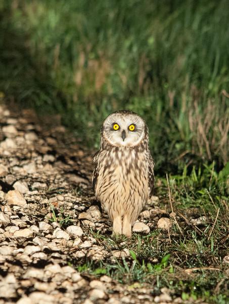 Short-earned Owl