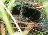 Purple Gallinule Chicks