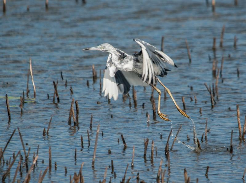 Little Blue Heron (Transitional Plumage)