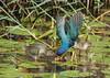 Purple Gallinules