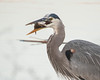 Great Blue Heron with catfish for breakfast