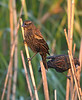 Red-winged Blackbird  (1st year male)