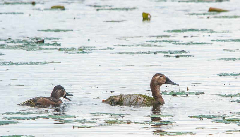 Ring-necked Duck (female) and Canvasback (Female)