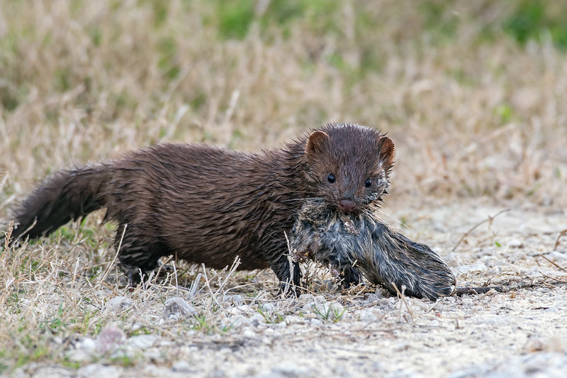 American Mink with Captured Rat