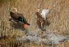 Mottled Ducks