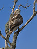 Red-tailed Hawk (Immature Eastern Phase)