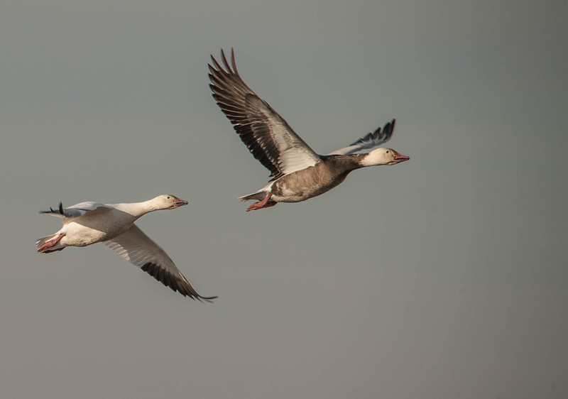 Snow Geese (Blue Morph on right)