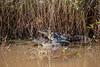 American Alligators (Juveniles)