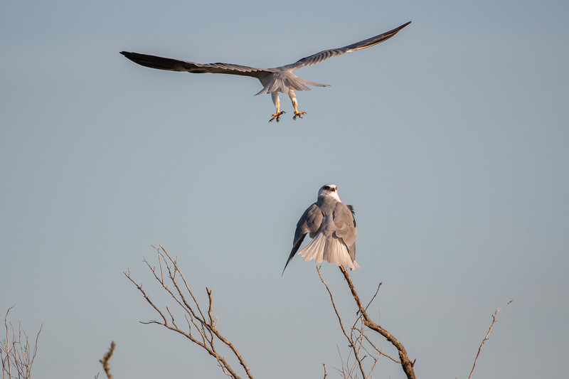 White-tailed Kites