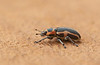 Sesbania Clown Weevil
