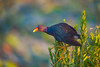 Purple Gallinule at Sunrise