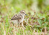 Black-necked Stilt (Hatchling)