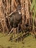 White-faced Ibis (Fledgling)