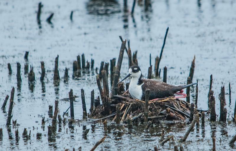 Black-necked Stilt on Nest