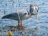 Great Blue Heron eating a Ribbon Snake
