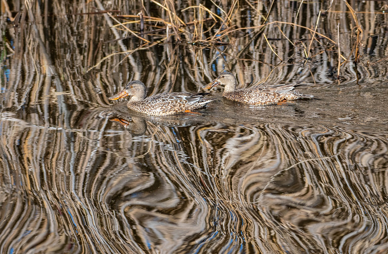 Northern Shovelers (Female)