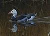 Snow Goose (Dark Morph)