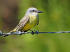 (Possible) Couch's Kingbird