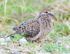 Mourning Dove (Immature)