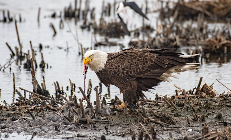 Bald Eagle eating an American Coot