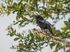 Bronzed Cowbird (Male)