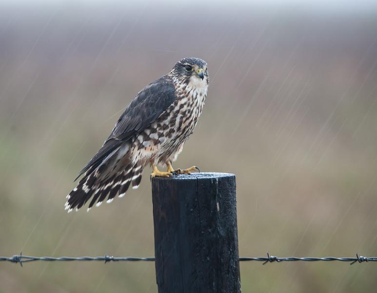 Merlin during heavy rain
