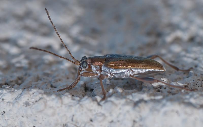 Donacia Beetle