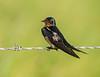 Barn Swallow (Male)