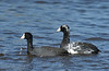 American Coot (the one on right has Pied Plumage)