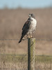 White-tailed Hawk (Adult)