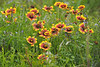 Indian Blanket Flowers
