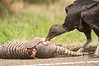 Black Vulture eating a road-kill Armadillo