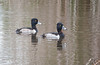 Ring-necked Ducks (Males)