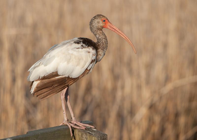 White-faced ibis (Immature)