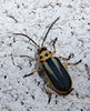 Groundselbush Beetle